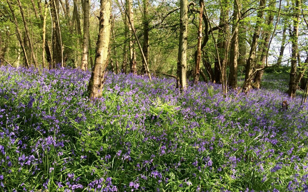 East Sussex – Heaven Farm bluebell walk & picnic – 22nd April 2018