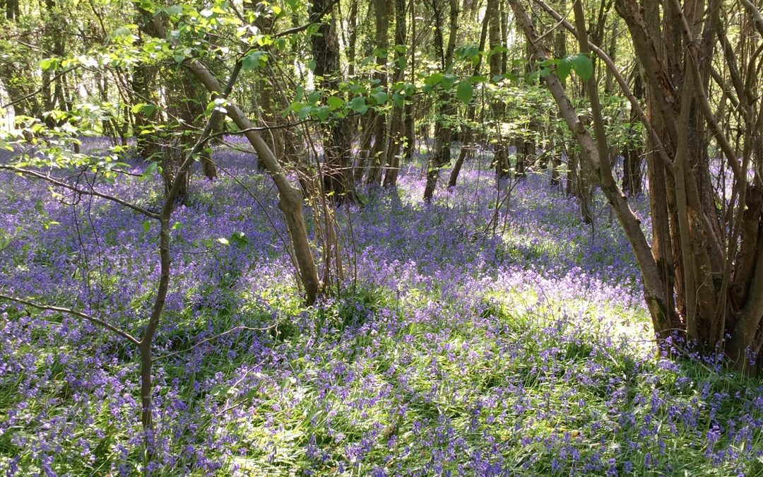 East Sussex – Heaven Farm Bluebell Walk and picnic – 21st April 2019