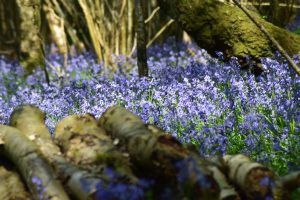 East Sussex - Heaven Farm - Bluebell Walk and picnic - 19th April 2020 @ Heaven Farm
