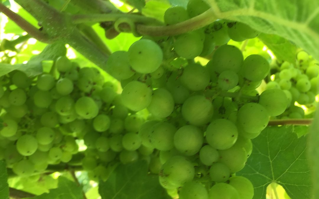 East Sussex – Carr-Taylor Vineyard Tour – 18th August 2019